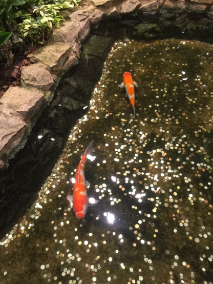These koi swim in a pond littered with coins. People appear to use the pond as a wishing well of sorts.