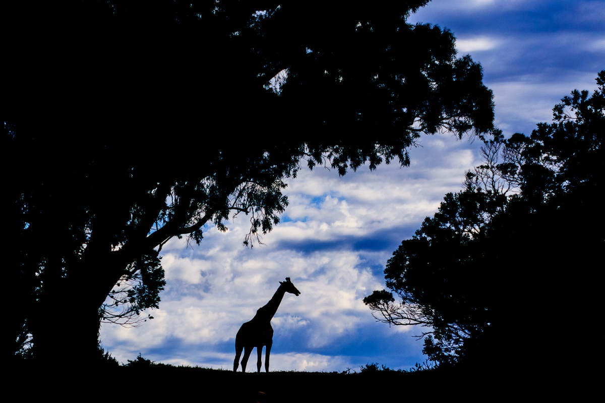 Giraffe silhouetted against the sky