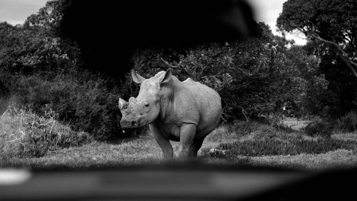 black and white image of a rhinoceros